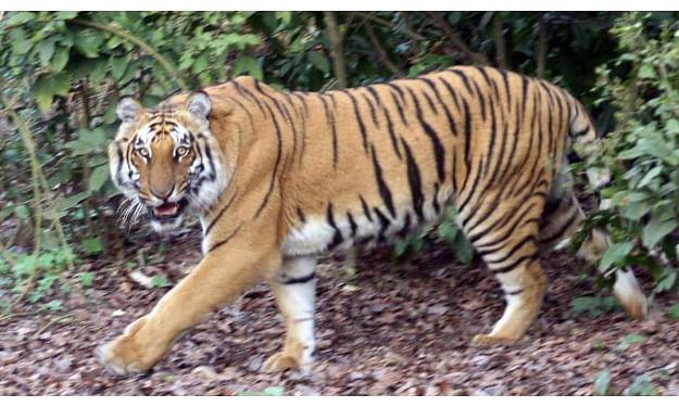 Tiger carcass recovered in Kaziranga National Park