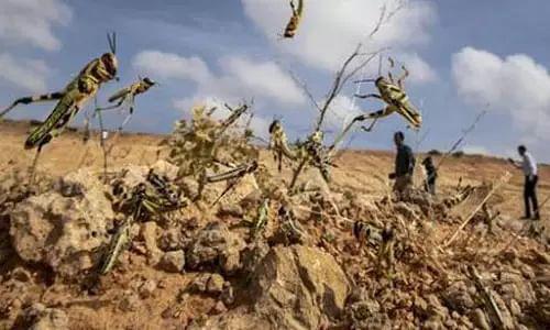 locust attack Madhya Pradesh