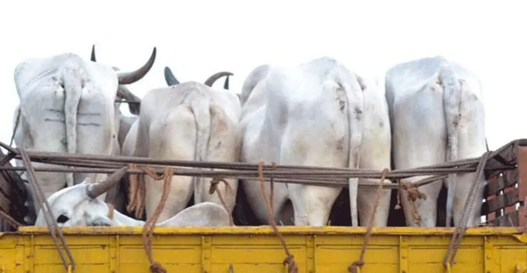 cow-smuggling