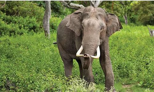 Assam, Wild elephant, Human-elephant conflict,  Dighalbari Village, Hojai