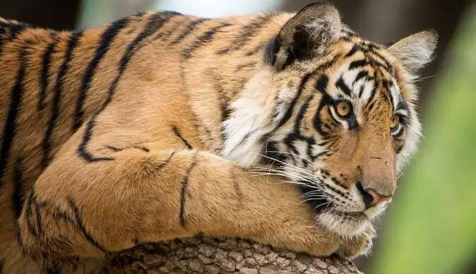 Northeast tigers