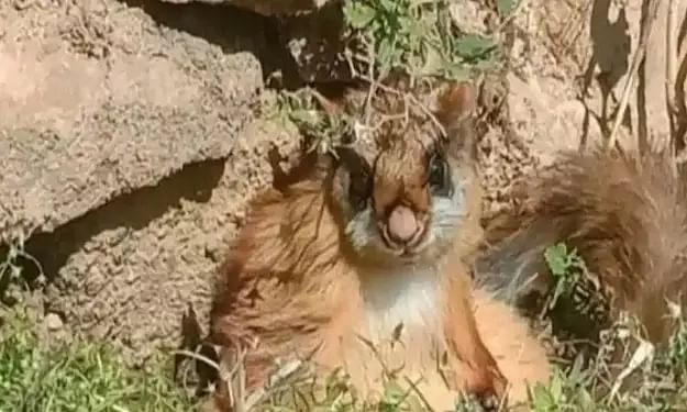 Woolly flying squirrel, thought to be extinct, spotted in Gangotri National Park