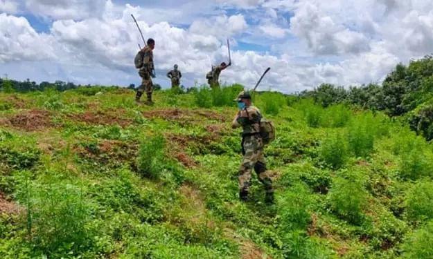 Tripura: 3 lakh marijuana saplings destroyed during anti-narcotics drive