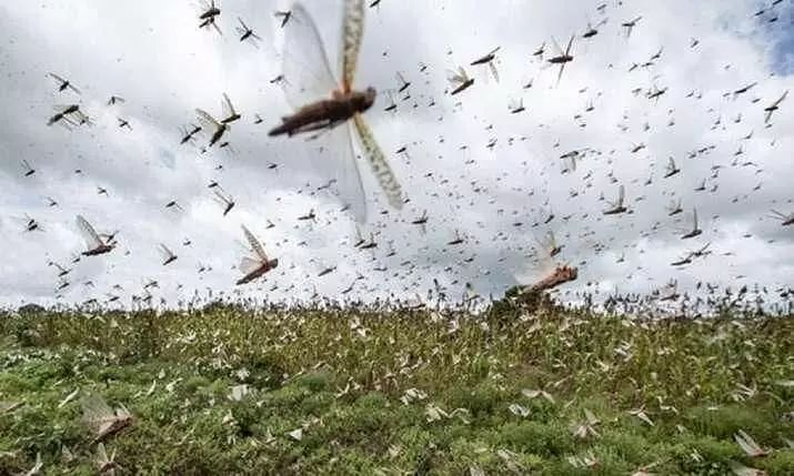 After dealing with severe locust attack, villagers of Khambi adopt organic farming