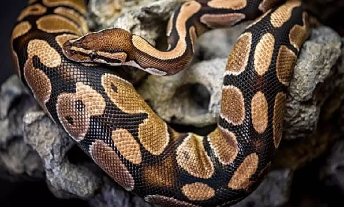 Seven feet long python in IOC residential complex