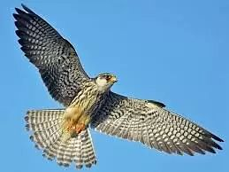 Amur Falcons return to NE States; contrast in reponses of inhabitants...