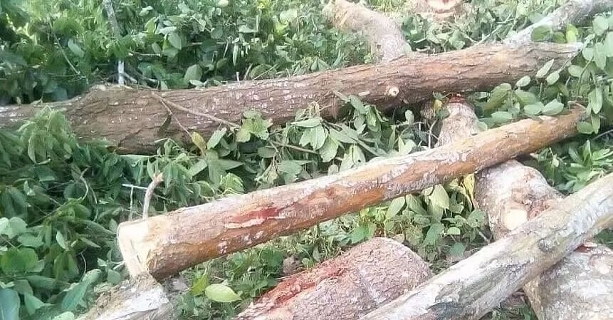 ABSU urges for taking steps against illegal felling of trees