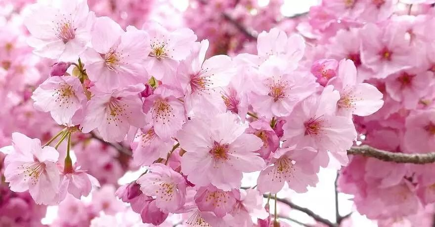 PM Modi mentions about Meghalaya's Cherry Blossoms