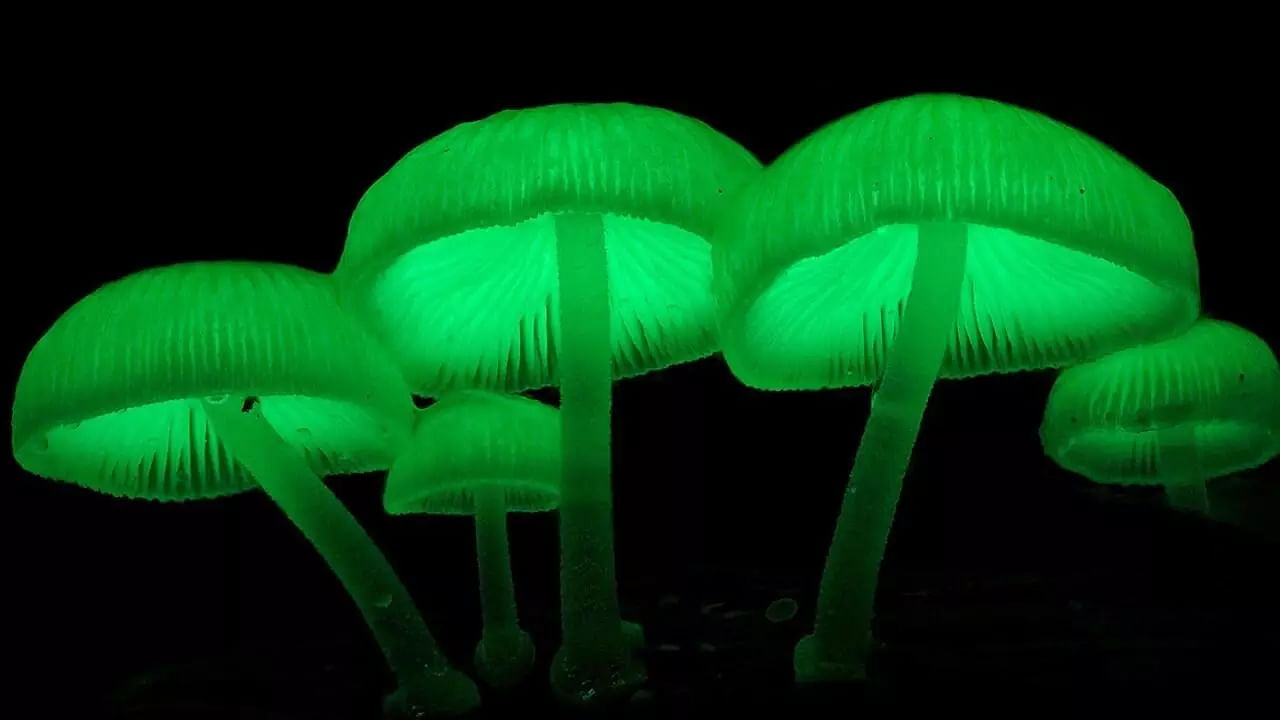 Glow in the dark mushrooms found in Meghalaya. Click to know more about it