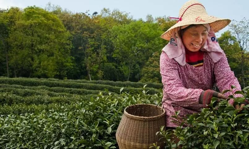 UNs FAO recognises 4 Asian tea cultivation sites as global agricultural heritages