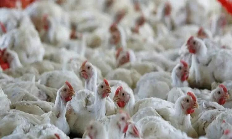 Sikkim Govt Imposes 1 Month Ban on Poultry Imports from Other States