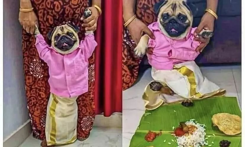 Photo of Pug Wearing Traditional Malayali Outfit Goes Viral, People Join in to Find Him a Bride