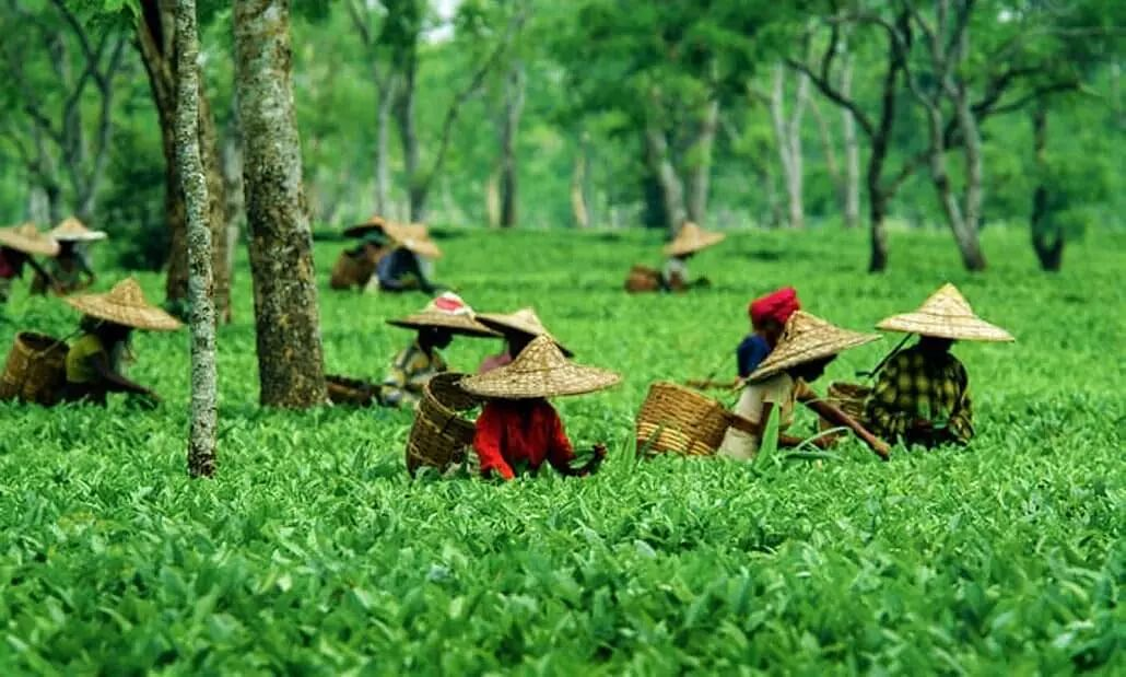 Assam Tea Gardens: All you need to know