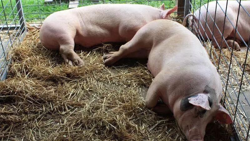 African Swine Fever affecting pigs in Assam might have come from China