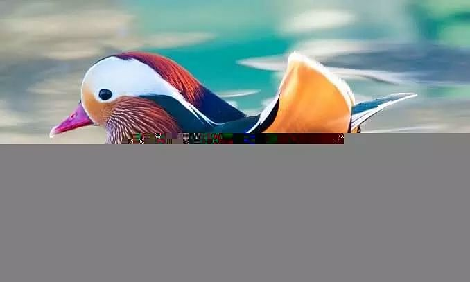 Rare Mandarin Duck Spotted in Wetland in Assam after 100 years