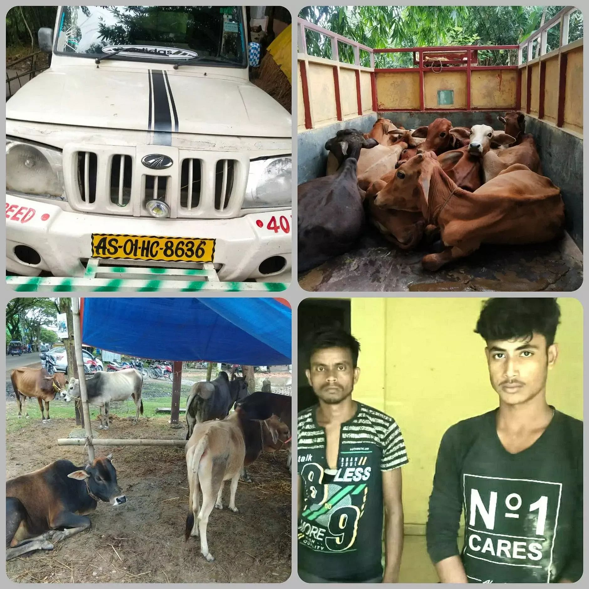 2 smugglers seized with 29 cattle heads in Dhubri