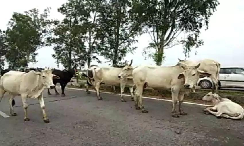 cattle-lifter