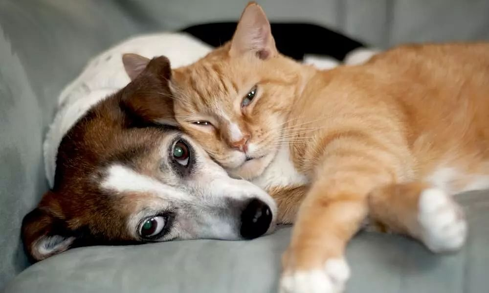 Can Pet Get the COVID! How to Protect Pets from COVID-19 Infection?