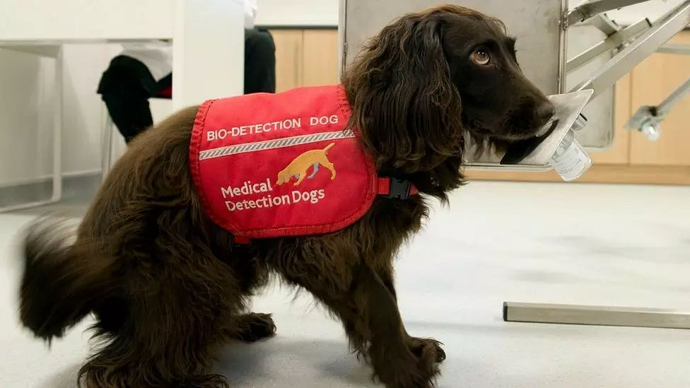 Sniffer dogs to identify COVID patients