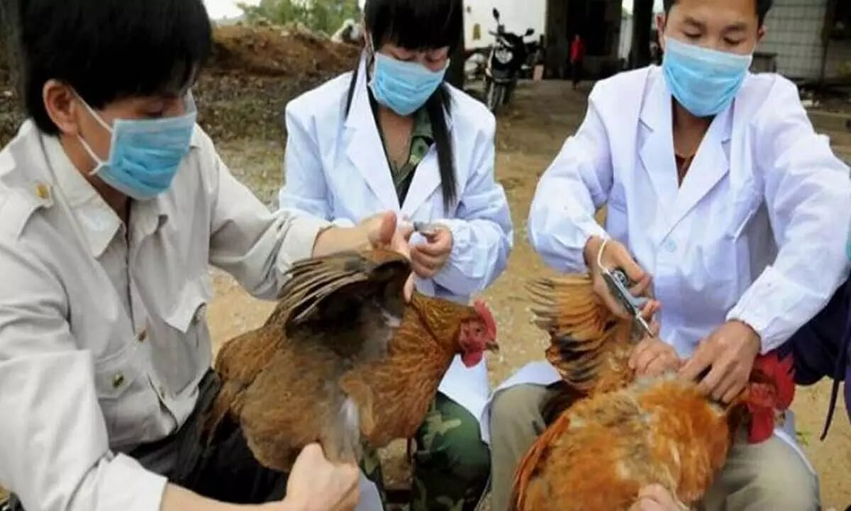 Avian Flu Symptoms, Causes, Treatment and Risks Factors
