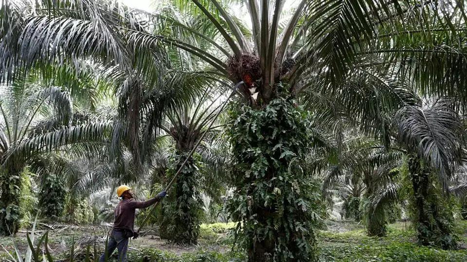 Oil palm, Northeast