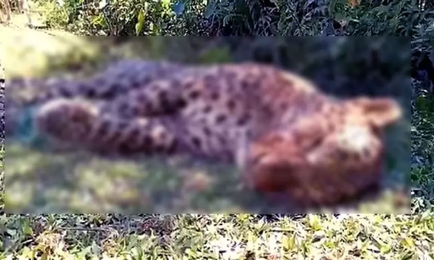 Five-Year-Old Leopards Carcass Recovered In Jorhat District