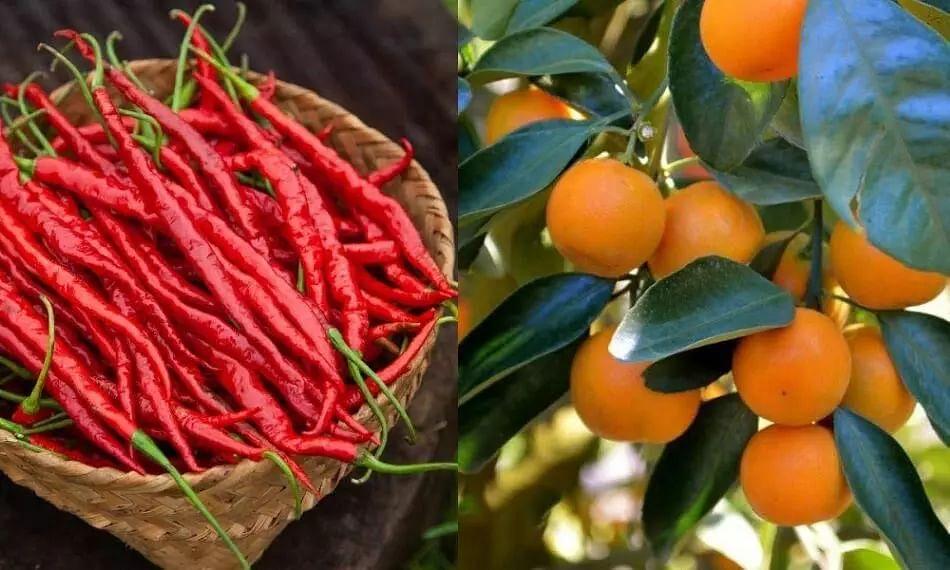 Hathei Chilli And Tamenglong Orange Of Manipur Get GI Tag
