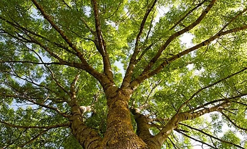 Haryana: Trees Older Than 75 Years To Get Rs 2,500 A Year As Pension