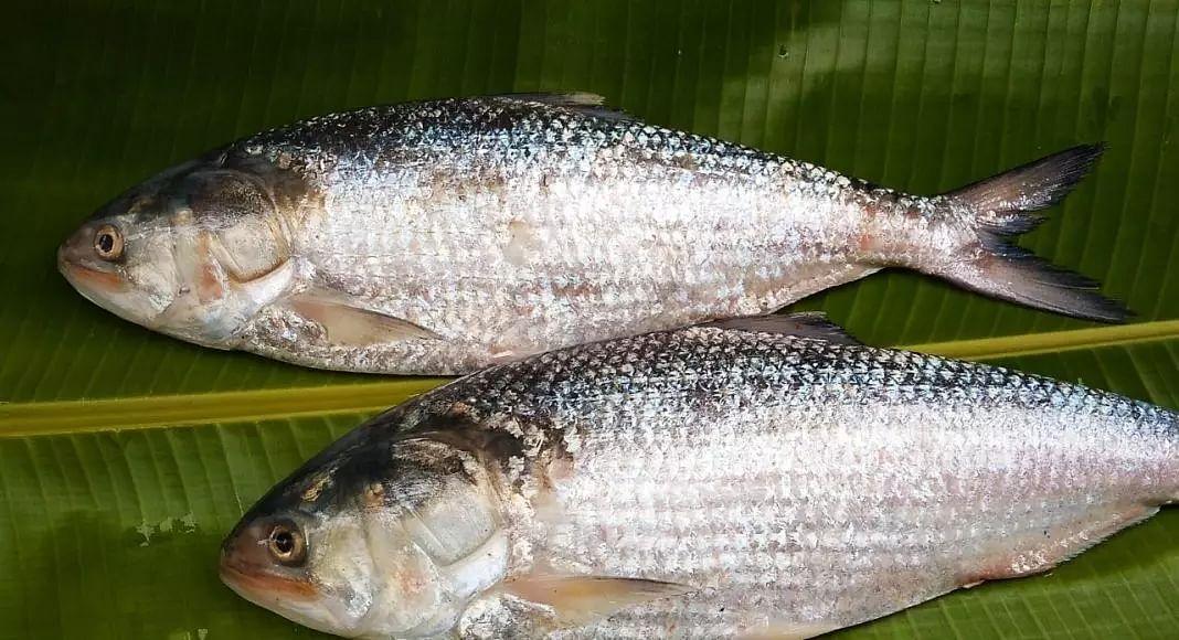 Bangladesh Lifts Ban After 10 Years, 2000 Kg Of Hilsha Fish Enters Tripura